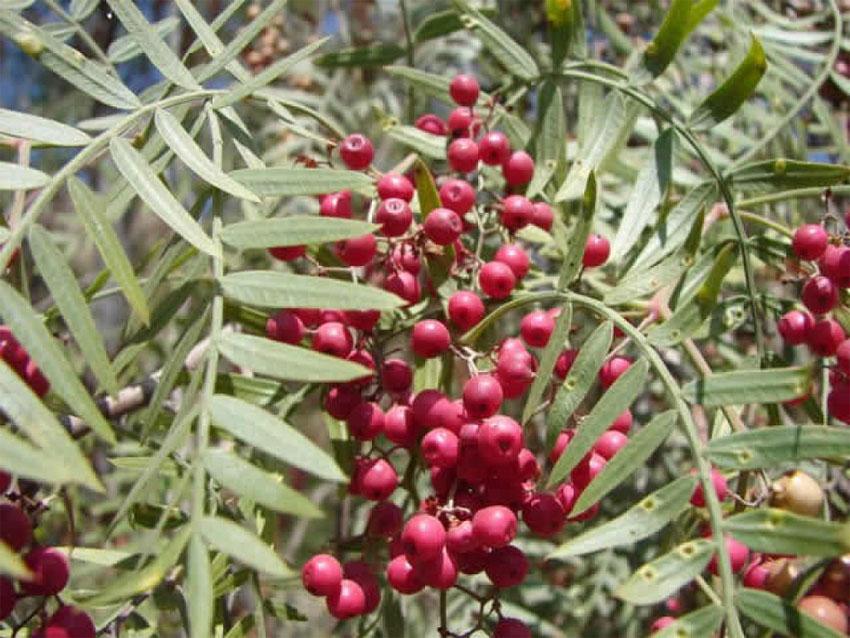 EsSalud elabora repelentes naturales a base de eucalipto, muña y molle. 1