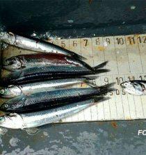Chimbote: Denuncian depredación marina con captura anchoveta juvenil. 26