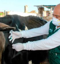 Senasavacuna amás de 3 mil animalespara evitar elántrax en Áncash 10