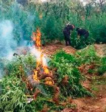 Áncash: incineran 2,250 plantones de marihuana en Sihuas 6