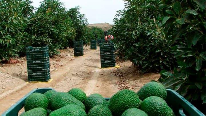 Perú exportador mundial de paltas